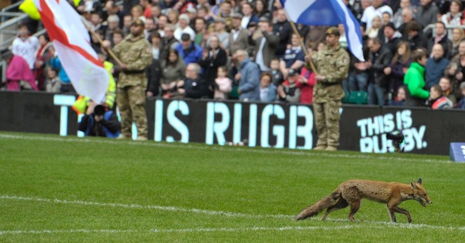 Raposa invade jogo entre Inglaterra e Escócia na Six Nations de rúgbi