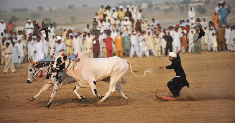 Homem em cima de uma prancha é puxado por bois em uma corrida realizada no Paquistão