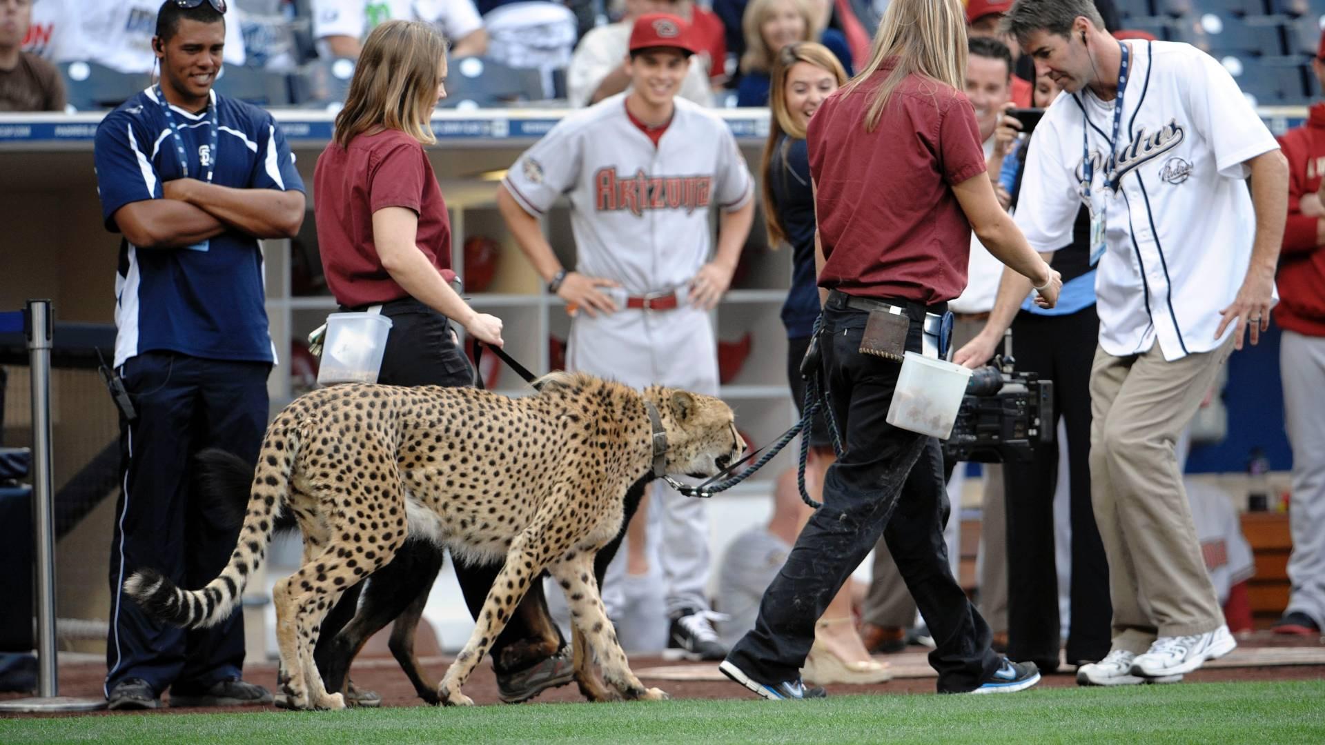 Majani, guepardo do zoológico de San Diego, aparece no estádio antes do jogo entre Arizona Diamondbacks e San Diego Padres pela MLB